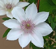 Clematis Corinne™ Bo