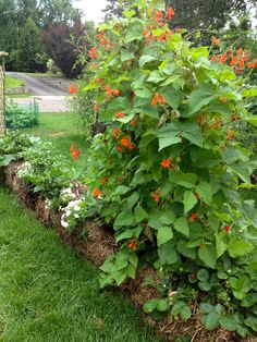 Straw Bale Gardening: Scarlet Runner beans and many other plants thriving in the bales...