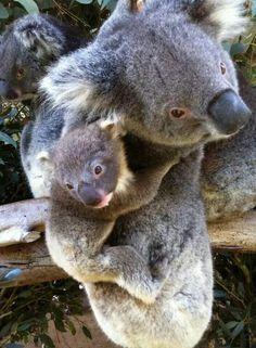 b35f3f6bdcf4 Caversham wildlife park. PERTH. WA Bear Cubs, Koala Bears, Baby Koala,