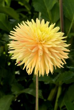 """Dahlia """"Kim Baker"""" yellow and pink. Height - 5'  Blooms - 5""""  Form - Semi-Cactus    Top American Dahlia Society Trial Garden Award for 2009. New from Philip Godsmark, creator of the Ryecroft Dahlias that consistently win shows across the US. Straight stems and long-lasting blooms make for great cut flowers, also."""