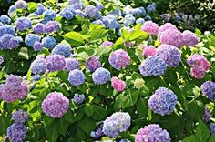 Some hydrangea flowers change color with modified soil pH.