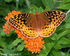 Great Spangled Fritillary (Speyeria cybele) - on butterfly weed...