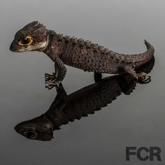Orange Eyed Crocodile Skink SO stinking CUTE!!!