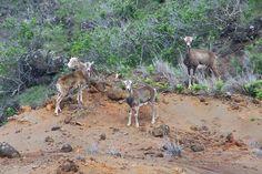 Hiking the Koloiki Trail, seeing Lanai Mouflon #Hawaii