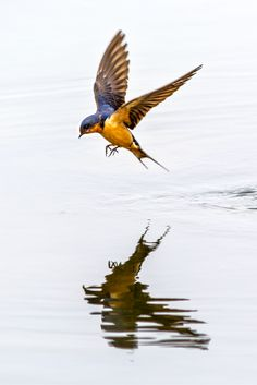A barn swallow flying over the lake at Prospect Park in Wheat Ridge, Colo.