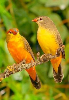 The orange-breasted waxbill or zebra waxbill[ (Amandava subflava) is a small (approximately 9 cm long) sparrow-like bird with a reddish iris, orange breast, red bill and dark olive-green plumage. It is found in grassland and savannahs south of the Sahara in Africa.