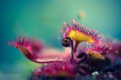 これはモウセンゴケという食虫植物。自然界ではあまり見かけないビビットピンクがとても美しい。 また食虫植物ならではである、粘液がキラキラして綺麗。