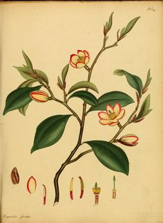 Magnolia Fuscata - The botanist's repository, for new and rare plants : - Biodiversity Heritage Library