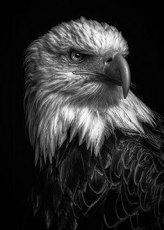 Eagle Images, Eagle Pictures, Eagle Head Tattoo, Eagle Tattoos, Eagle Wallpaper, Lion Wallpaper, Natur Tattoo Arm, Wild Eagle, Eagle Face