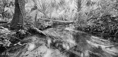 Jupiter Run Florida 67 Series Ocala National Forest, Florida by Photographer Richard J Auger. Film panoramic black and white image, old wild florida nature landscape photograph.