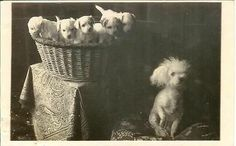 BICHON or POODLE dog w puppies in basket RPPC real photo postcard.Pet Basket. . #Basket #Wicker Basket #Pet Basket # Cat Basket #Dog Basket