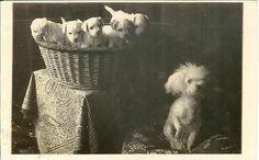 BICHON or POODLE dog w puppies in basket RPPC real photo postcard.Pet Basket. . #Basket #Wicker Basket #Pet Basket # Cat Basket #Dog Basket