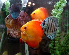 Discus! I have them in my fishtank at home, they are so pretty