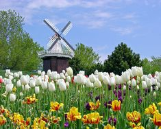 WindMill Wallpaper Landscape Nature Wallpapers) – Wallpapers For Desktop Tulips Flowers, Love Flowers, Tulips Garden, White Tulips, Holland Michigan Tulip Festival, Champs, Spring Scenery, Hot Dog Stand, Pokerface