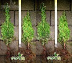TUJE TUJA THUJA THUJE SMARAGD SZMARAGD 35CM GRUNT! - Tuje, Drzewa, Krzewy, Rośliny