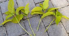 Den Lykkelige Hagen ligger på Hedmarken i sone h5-h6. Her finnes beskrivelser av stauder, sommerblomster og hageprosjekter. Propagation, Plant Leaves, Planters, Garden, Garten, Lawn And Garden, Gardens, Plant, Window Boxes