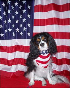 Though Brody is eager to show his patriotism in this photo, owner Lauren Kelley says the cavalier King Charles spaniel was probably getting ready to hide under the bed once the fireworks started.