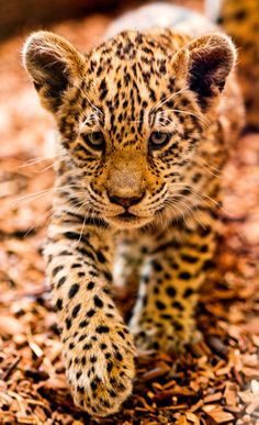 intotheclearing:    by Tambako the Jaguar
