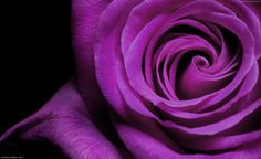 The purple rose. The Purple, All Things Purple, Shades Of Purple, Purple Stuff, Purple Rain, Magenta, Purple Roses Wallpaper, Rose Flower Wallpaper, Flower Backgrounds