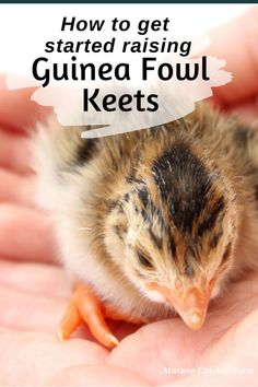 Raising guinea fowl keets is a lot like raising chicks, they need feed, a brooder and eventually a coop. Here are basics of raising guinea fowl for the homestead or backyard. Backyard Poultry, Chickens Backyard, Baby Chickens, Raising Chickens, Types Of Poultry, Guinea Fowl, Old Wife, Grow Your Own Food, Coops