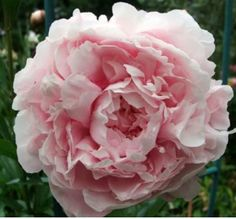 If you are curious about When to Plant Peony Flowers for Spring, here are some helpful tips I've found to share with you! I love these Beautiful Peonies!