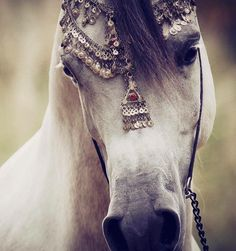 there are horses and then there are arabians All The Pretty Horses, Beautiful Horses, Animals Beautiful, Majestic Horse, Horse Pictures, Horse Photography, Horse Love, Horse Breeds, Wild Horses