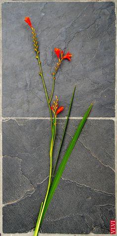 29-07 | De gedroogde bloemen van de Crocosmia geuren naar saffraan. Vandaar ook de naam die is afgeleid van de Griekse woorden 'krokos' (saffraan) en 'osme' (geur). Ook kun je uit de bloemen een geel sap winnen, dat als vervanging van #saffraan wordt gebruikt bij het kleuren van gerechten.