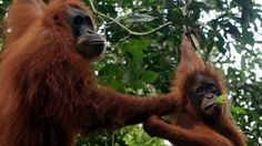 Gorillas put off their food and stressed out orangutans, could nature tourism be bad for wild animals' health?