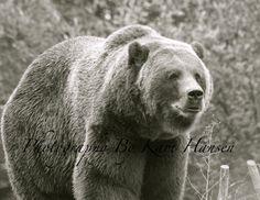 Metallic Paper Black and White Grizzly Bear Kodiak Bear Brown Bear Wildlife Nature Fine Art Photography Monochromatic Wall Decor on Etsy, $30.00