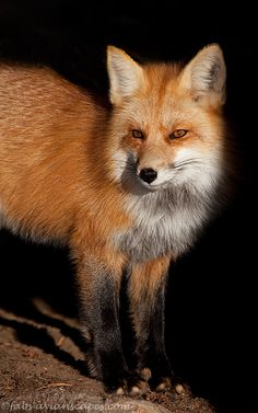 """The Fox"" - Mountain Fox in partial shade. Greater Yellowstone area by Fabs Forns"