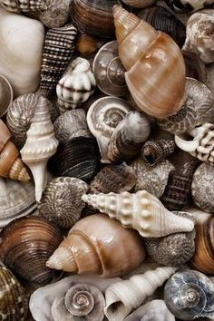 My favorite thing to do at the beach is look for shells. Last time we went to the beach , my back got the most tan from bending over looking for shells the whole day. Natur Wallpaper, Shell Collection, Shell Beach, Shell Art, Natural Forms, Ocean Life, Sea Creatures, Under The Sea, Sea Glass