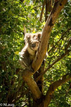 Koala spotting! Great Ocean Road, Melbourne, Australia