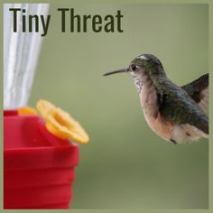 A tiny bird known for its size, speed, and power: for being a sign of spring, beauty, and peace. But for its fiercy battle skills? Who knew? Tiny Bird, Spring Sign, Poem, Battle, Writer, Peace, Beauty, Writers, Verses
