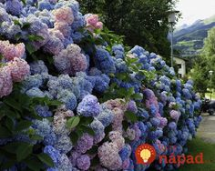 Hydrangeas are wonderful flowering plants for colorful garden design and yard landscaping Nikko Blue Hydrangea, Hydrangea Bush, Hydrangea Colors, Hydrangea Flower, Hydrangeas, Lush, Lilac Bushes, Landscape Services, Small Space Gardening