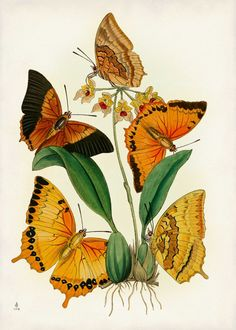 Butterfly Art Print - Orange Butterflies - Poster - Natural History Art - From Vintage Scientific Illustration - Giclee - Mother's Day Gift