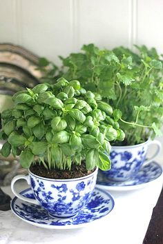 Teacup garden for the front door! basil growing in a teacup