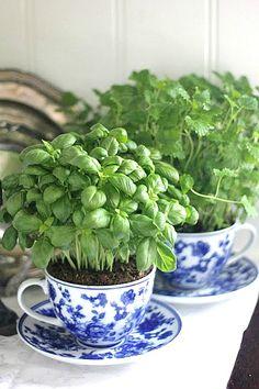 Teacup garden for the front door! basil growing in a teacup