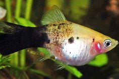fancy platy fish - Google Search