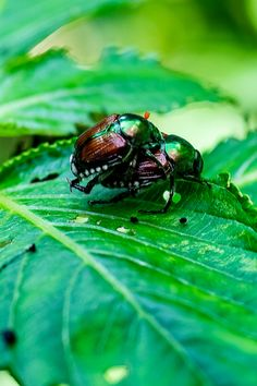 Learn how to stop japanese beetles from destroying plants, bushes and trees. Simple methods to help keep beetles from damaging your landscape. Killing Japanese Beetles, Homemade Bug Spray, Beneficial Insects, Planting Vegetables, Insect Repellent, Ornamental Grasses, Trees To Plant, Backyard Landscaping, Pest Control