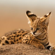 Serval Kitten, I want Beautiful Cats, Animals Beautiful, Baby Cats, Cats And Kittens, Serval Kitten, Grand Chat, Small Wild Cats, Photo Animaliere, Exotic Cats