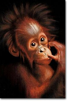 Orangutan - Photorealistic Pencil Drawing by Kirrily Duff, Australian Artist - Pictures of Animals / Original Art available for sale online
