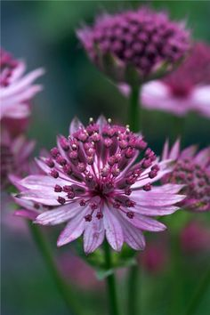 Astrantia Major Roma