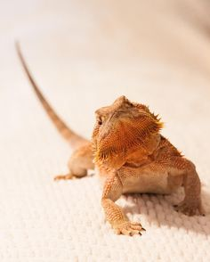 Bearded dragon photography. Photo by @ReptiFiles on Instagram.
