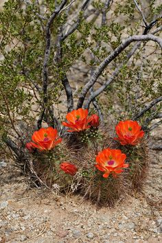 Echinocereus xroetteri, USA, New Mexico, Otero Co. Cacti And Succulents, Cactus Plants, Cactus Flower, Flower Art, Desert Pictures, New Mexico, Bonsai, Joshua Tree National Park, Desert Plants