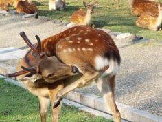 #nara perk #sika deer