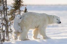 A young polar bear clings to his mother in Churchill, Canada. (Photo: Daisy Gilardini)