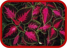 Pattern Pictures, Plant Pattern Photos, Gallery –- National Geographic Coleus Plants Photograph by Tim Laman Coleus plants grow across much of South America.Coleus Plants Photograph by Tim Laman Coleus plants grow across much of South America. Patterns In Nature, Beautiful Patterns, Flower Patterns, Beautiful Flowers, Beautiful Life, Balcony Plants, House Plants, Pattern Pictures, Foliage Plants