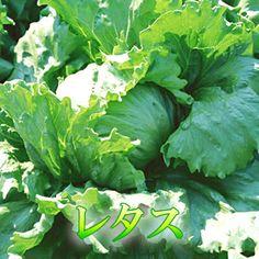 ☆ステビア栽培で農作物が元氣で美味しい!☆ シャキシャキ歯ごたえが小気味イイ♪定番野菜のレタス1玉【楽天市場】