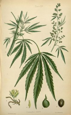 The flora homoeopathica or, illustrations and descriptions of the medicinal plants used as homoeopathic remedies /by Edward Hamilton. (1852) - Cannabis Sativa (Hemp)