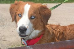Sinkers - Nova Scotia Duck-Tolling Retriever/Collie mix - 7 months old - Male - Lebanon Humane Society - Lebanon, MO. - http://www.petfinder.com/petdetail/29063207/